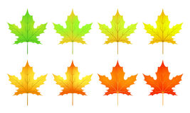 cycle of a maple leaf isolated on white background in  Stock Photography