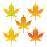 cycle of a maple leaf isolated on white background in  Royalty Free Stock Image