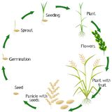 Cycle of a rice plant growth isolated on white background. stock illustration