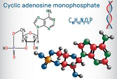 Cyclic adenosine monophosphate cAMP molecule, it is a derivati Stock Photos