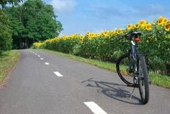 Cycling the field of sunflowers. Stock Images