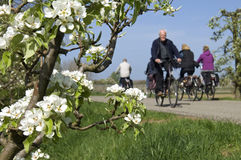 Cycling people and blossom trees, Betuwe. Stock Photos