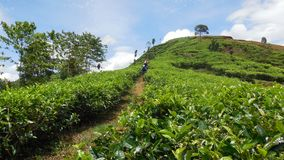 Cycling in Tea Plantation stock images