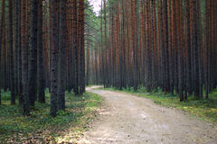A cycling and walking path for walks winds in the pine forest, a lot of trunks of large pines on both sides.  Royalty Free Stock Image