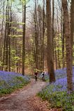 Cycling in the woods. Two people cycling in the Hallerbos woods in Belgium while the bluebells are in full bloom Stock Photography