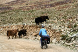 Cyclist meets yaks. Woman encountering yaks while cycling on a difficult mountain road towards Shandur Pass in northern Pakistan royalty free stock photo