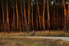 Cyclist Riding the Bike on Trail in Beautiful pine Forest Royalty Free Stock Photography