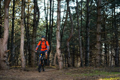 Cyclist Riding the Bike on the Trail in Beautiful Pine Forest. Healthy Lifestyle and Sport Concept. Stock Photos