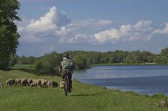 Cyclist and sheep by the river stock image
