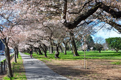 Cyclist in Springtime Cherry Blossom Avenue Stock Photos