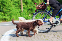 Cyclist with two dogs. Woman riding a bike with two dogs at the leash Royalty Free Stock Photos