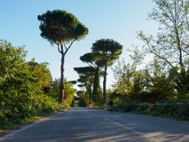 Cyclist under pine trees Stock Photography
