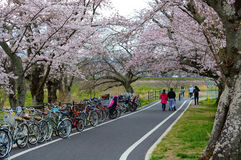 Cyclists and walkers enjoy the spring cherry blossoms along the Kyoto to Nara exercise trail in Jap. KYOTO, JAPAN - APRIL 2, 2016 - A warm spring day welcomes Stock Photos