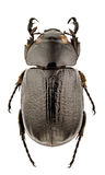 Cyclocephala dilatata Royalty Free Stock Photo