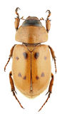 Cyclocephala pubescens Stock Image