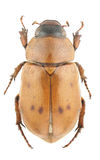 Cyclocephala pubescens Stock Photo