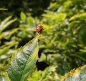 Cycloneda-sanguinea, orange Marienkäfer oder Marienkäferkäfer ohne Stellen start stockbilder