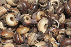 Cyclophorid蜗牛 免版税图库摄影