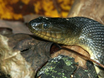 cyclopion zielony Mississippi nerodia watersnake Obrazy Stock
