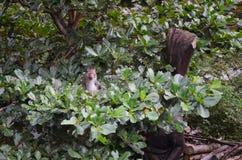 Cyclopis formosanos del Macaca del macaque de la roca en el bosque recreativo nacional de Zhiben, Taiwán n Imagen de archivo