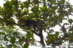 Cyclopis formosanos del Macaca del macaque de la roca en el bosque recreativo nacional de Zhiben, Taiwán n Foto de archivo