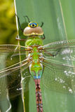 Cyclops Dragonfly stock photo