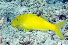 cyclostomus绯鲵鲣parupeneus yellowsaddle 库存图片