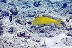 cyclostomus绯鲵鲣parupeneus yellowsaddle 免版税库存图片