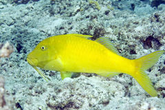 cyclostomus goatfish parupeneus yellowsaddle obrazy stock