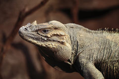 Cyclura Cornuta Stock Photography