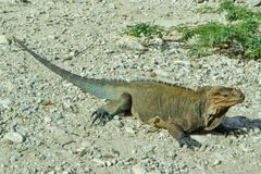 Cyclura ricordi, commonly known as the Hispaniolan ground iguana. Is a critically endangered species of rock iguana. It is found on the island of Hispaniola Stock Photo