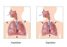 Cyclus van ademhaling Stock Afbeeldingen