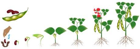 Cyclus van de groei van een booninstallatie op een witte achtergrond wordt geïsoleerd die stock illustratie