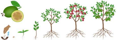 Cyclus van de groei van een feijoainstallatie op een witte achtergrond royalty-vrije illustratie