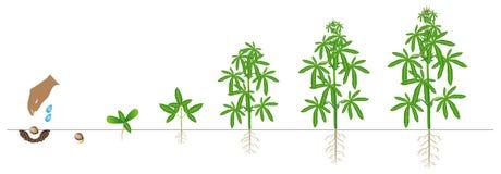 Cyclus van de groei van een installatie van een cannabis op een witte achtergrond wordt geïsoleerd die vector illustratie