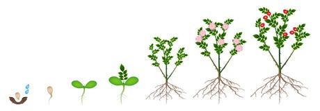 Cyclus van de groei van een installatie van rozebottels die op een witte achtergrond worden geïsoleerd royalty-vrije illustratie