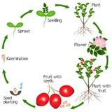 Cyclus van de groei van de rozebottelsinstallatie op witte achtergrond wordt geïsoleerd die royalty-vrije illustratie