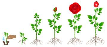 Cyclus van de rode roze die installatiegroei, op witte achtergrond wordt geïsoleerd vector illustratie