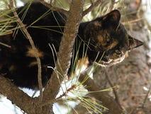 Cycowy kot Fotografia Stock