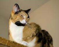 Cycowy kot Zdjęcie Royalty Free