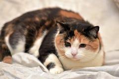 Cycowy kot Fotografia Royalty Free