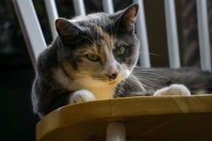Cycowy kot Indoors zdjęcie stock