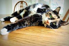 Cycowy kot z zielonymi oczami Obrazy Royalty Free
