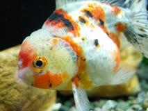 Cycowy Oranda Goldfish zdjęcie royalty free