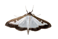 Cydalima perspectalis死的死的黄杨木潜叶虫钻眼工人 免版税库存照片