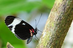 Cydno Longwing Butterfly Stock Photography