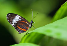 Cydno Longwing butterfly Stock Photo