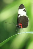 Cydno longwing butterfly Stock Image