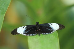 Cydno longwing butterfly Royalty Free Stock Photo