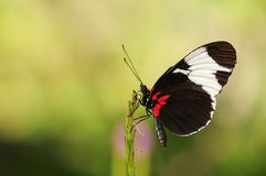 Cydno Longwing Butterfly (Underside) Royalty Free Stock Photo